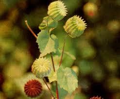cây cối xay tăng tinh dịch