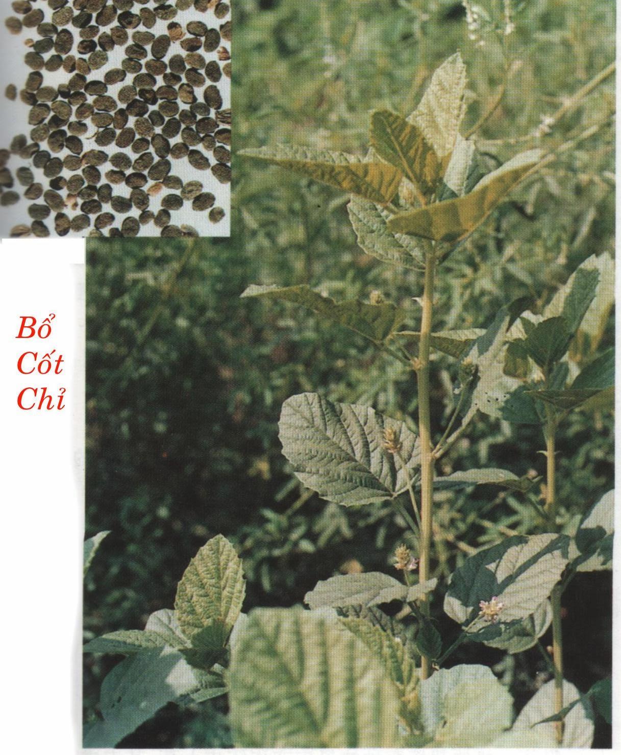 Hạt đậu miêu trị xuất tinh sớm-liệt dương